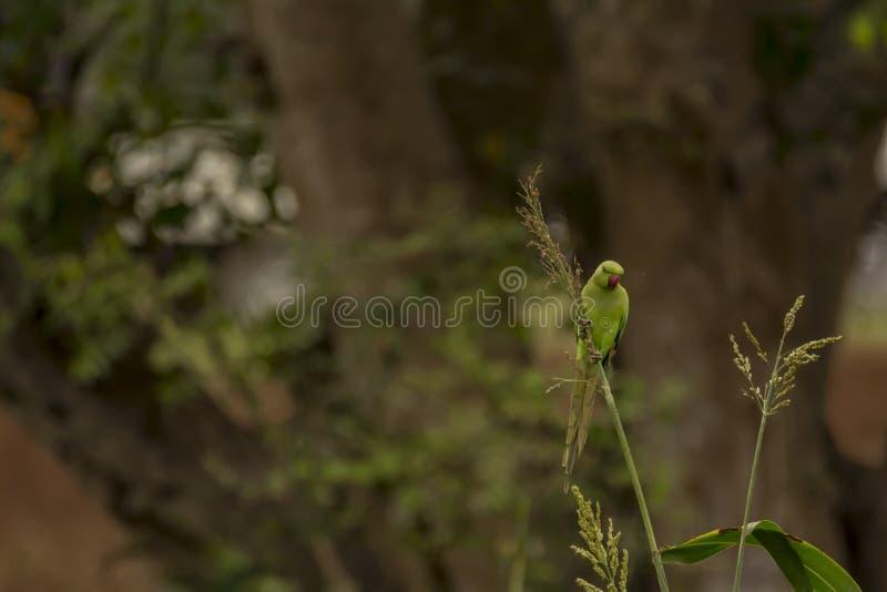 Psittaculakrameri of Rose Ringed Parakeet - het Voederen gewas stock foto's