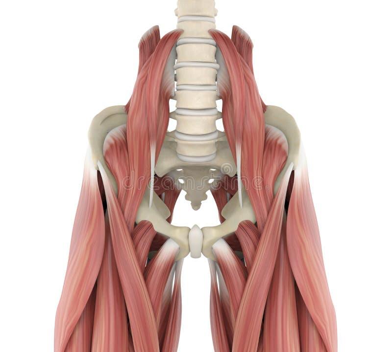 Psoas mięśni anatomia ilustracji
