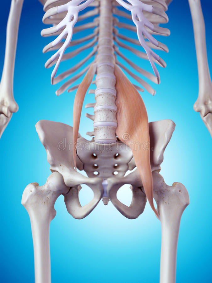 The psoas muscles vector illustration