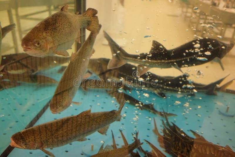 Pstrąg i jesiotr w akwarium fotografia royalty free