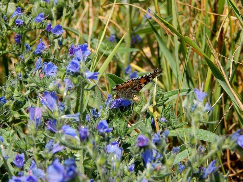 Pstrobarwny motyl zbiera nektar od kwiatu obraz royalty free
