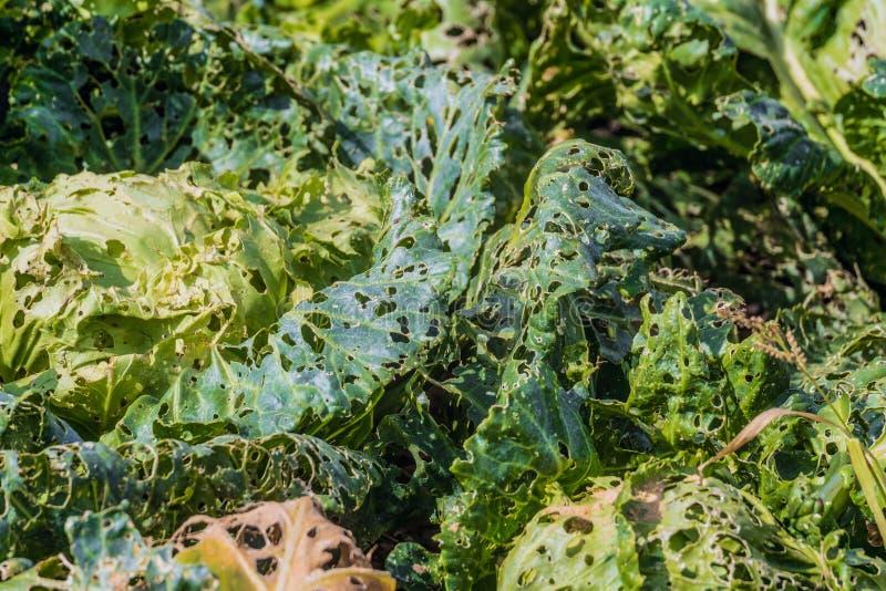 Psujący jedzący kapusta liście Ogrodowe zarazy Uprawy niepowodzenie, zły żniwa pojęcie fotografia royalty free