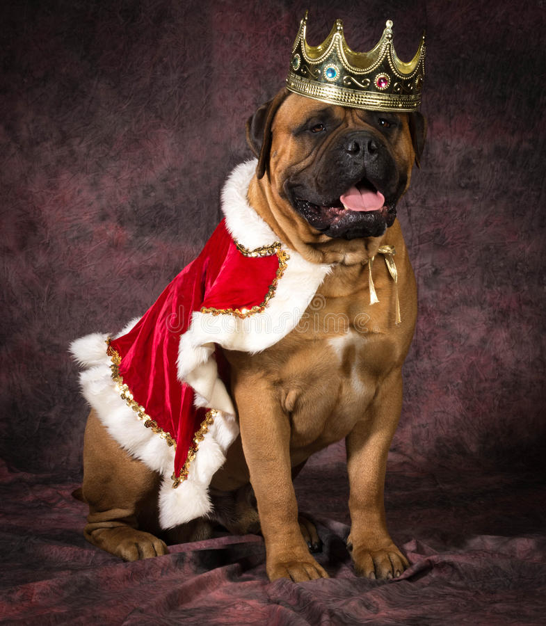 Psujący pies zdjęcie royalty free