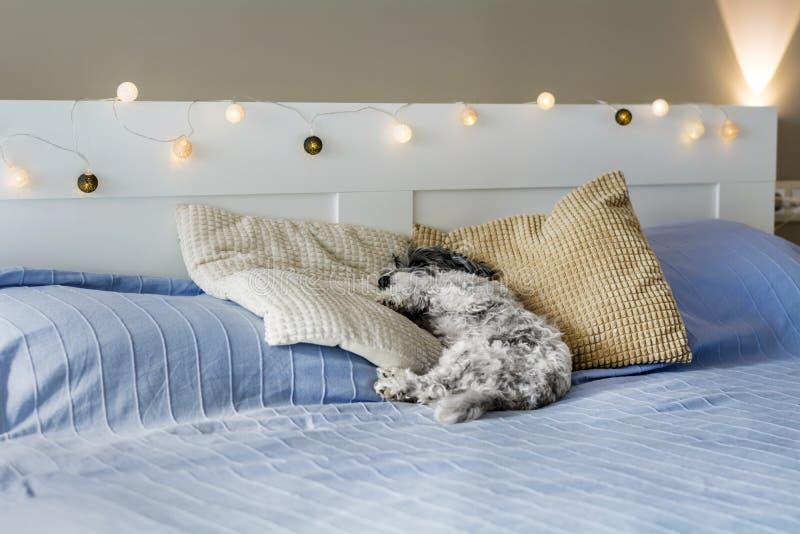 Psujący pudla psa dosypianie na Ludzkim łóżku zdjęcie stock
