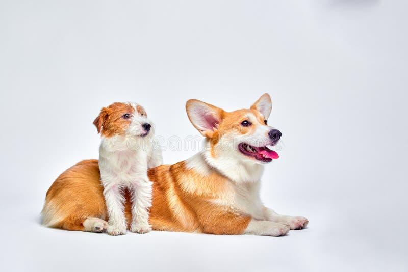 Psy bawić się w studiu na tła białych spojrzeniach przy wierzchołkiem Jack Russell Terrier i Walijski Corgi obrazy stock