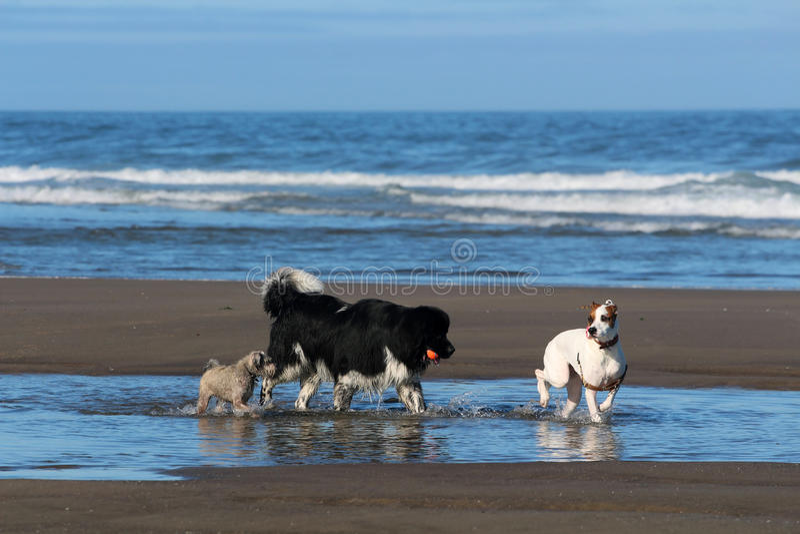 Psy bawić się na Oregon wybrzeżu zdjęcie stock