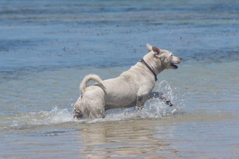 Psy bawić się przy plażą w morzu zdjęcie stock
