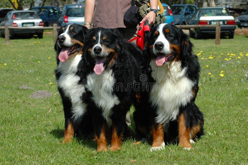 psy bernese górskie zdjęcie royalty free