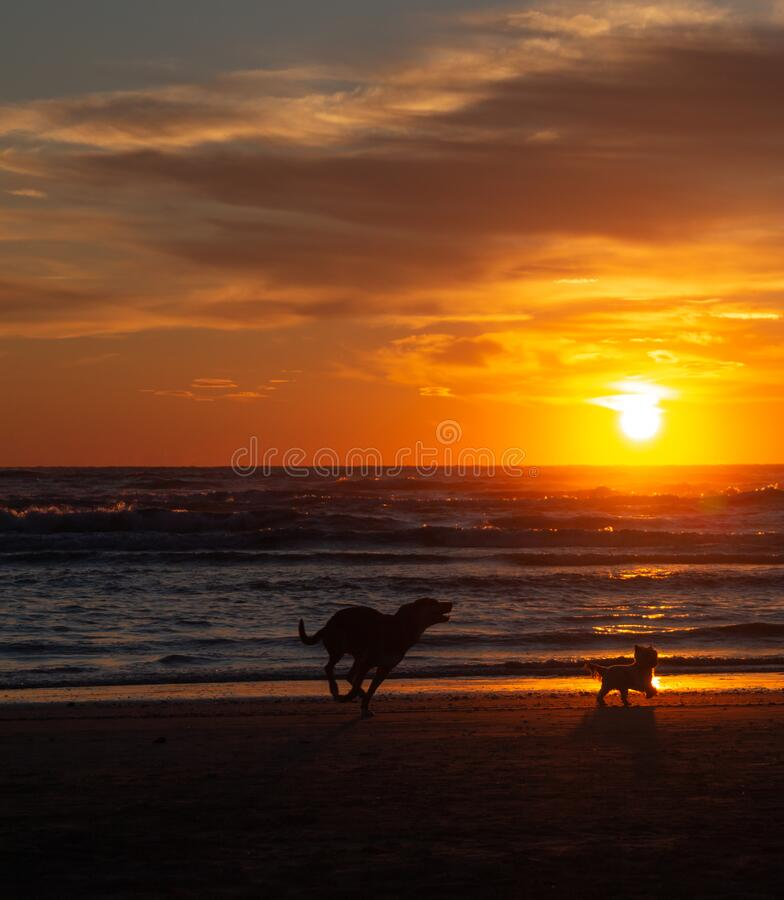 Psy biegające rano na piaszczystej plaży podczas pięknego wschód słońca w Rivazzurra Rimini/Włochy zdjęcie stock