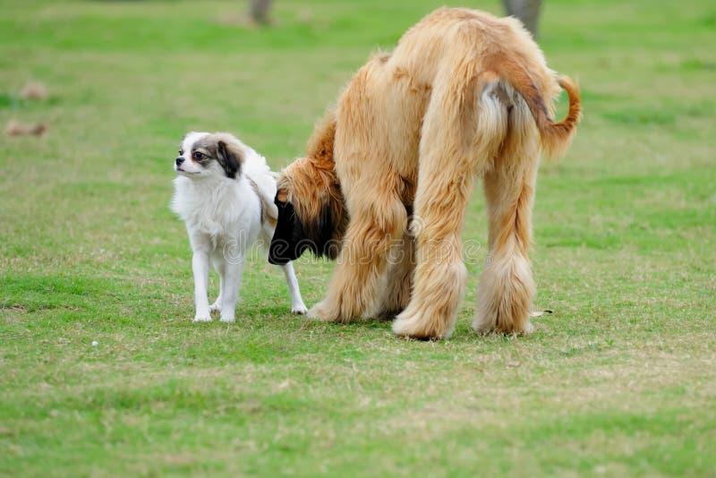psy dwa obraz stock
