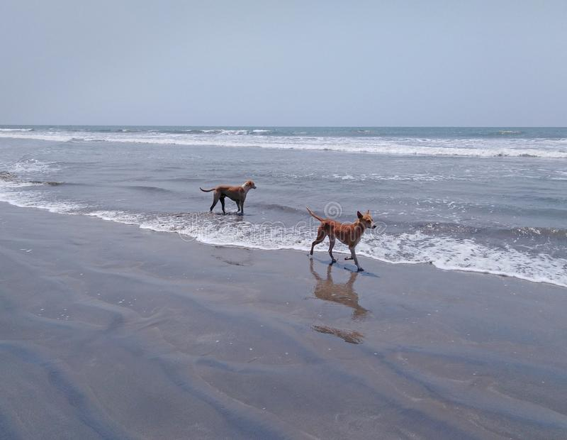 Psy na plaży w Goa, India zdjęcia stock