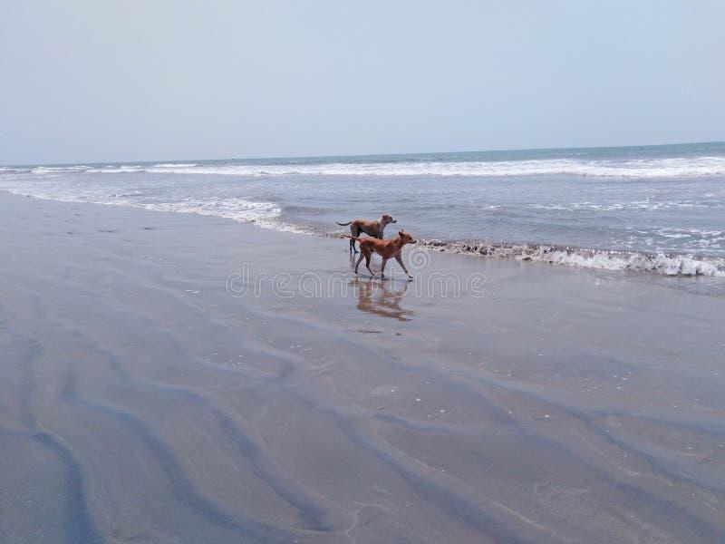 Psy na pla?y w Goa, India zdjęcie royalty free