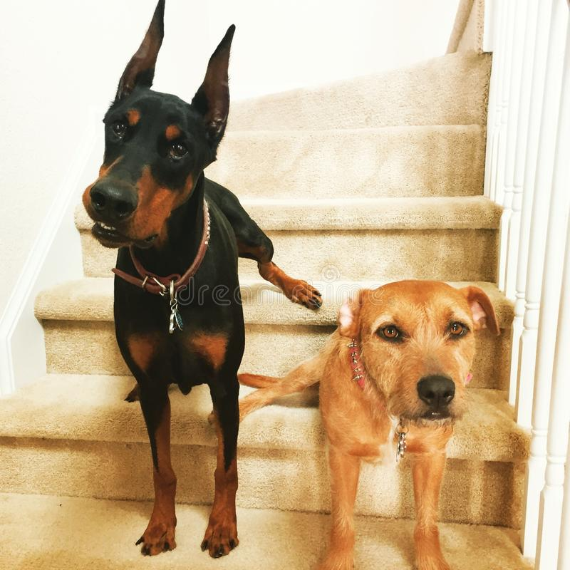 Psy na schodkach obrazy stock