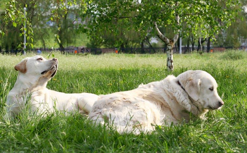 Psy na spacerze fotografia royalty free
