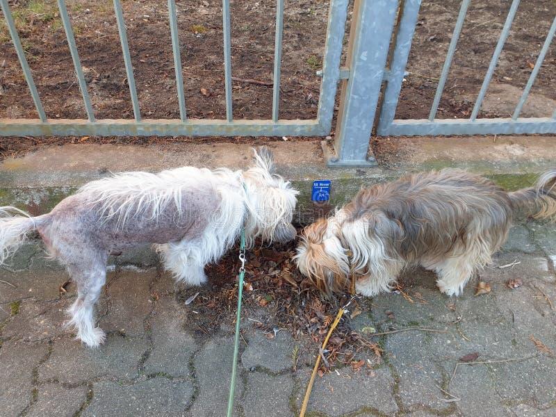Psy obwąchuje przy pośladkami obraz stock