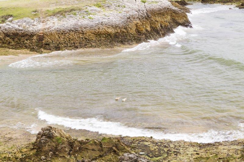 Psy pływa na wybrzeżu zdjęcia stock