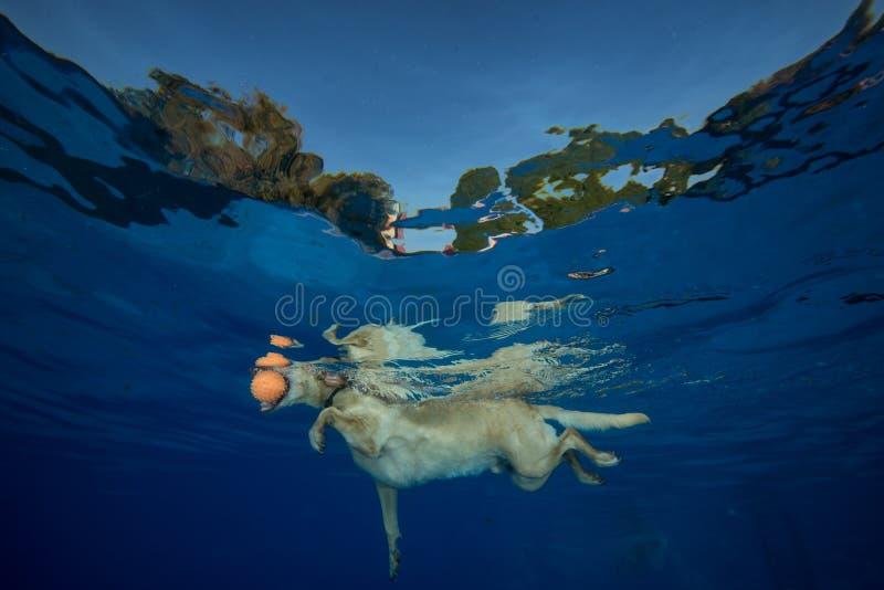 Psy pływa w basenie obraz royalty free