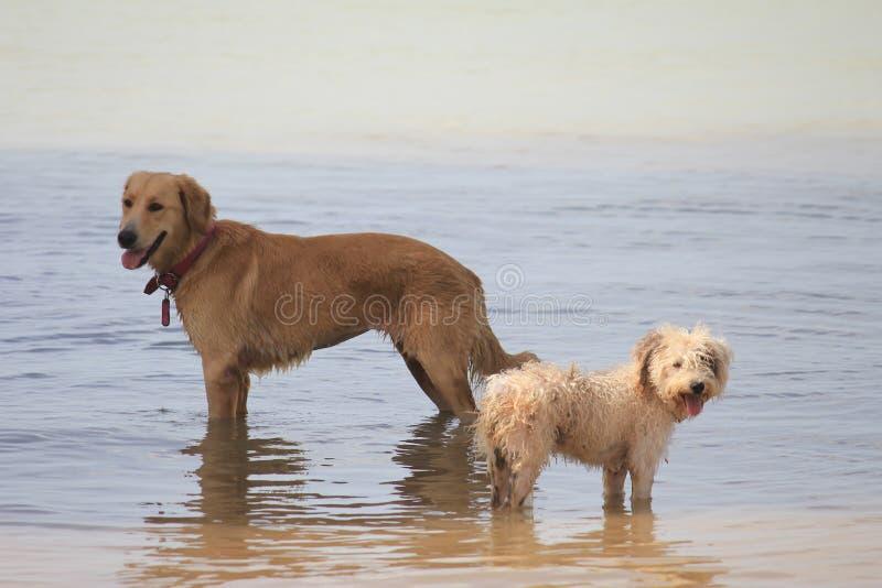 Psy przy Caraibian wybrzeżem fotografia stock