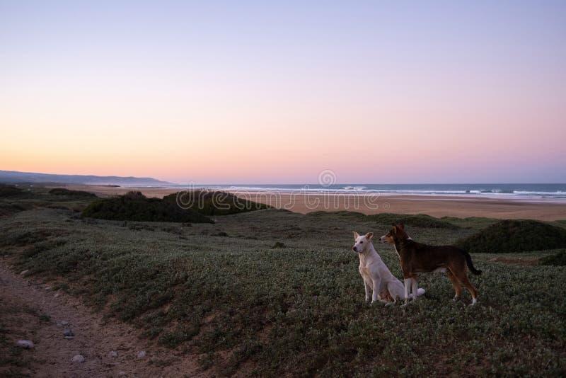 Psy przy wybrzeżem Sidi Kaouki, Maroko, Afryka zdjęcie royalty free