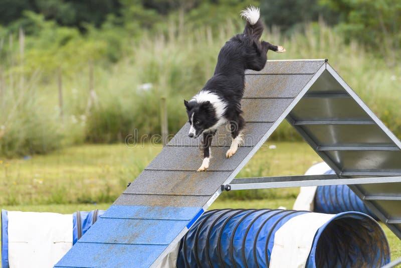 Psy w zwinności rywalizaci zdjęcie royalty free