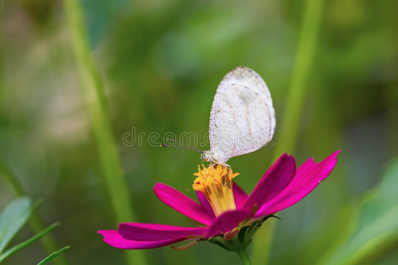 Download Psyche butterfly stock photo. Image of thorax, leptosia - 35988280