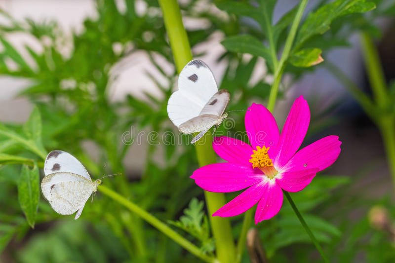Download Psyche butterfly stock image. Image of leptosia, thorax - 35988261
