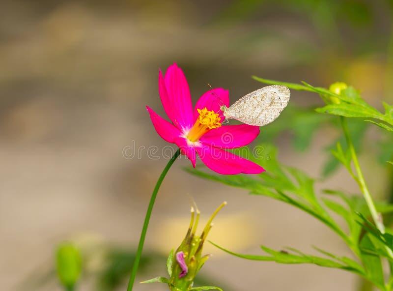 Psyche butterfly feeding on cosmos flower