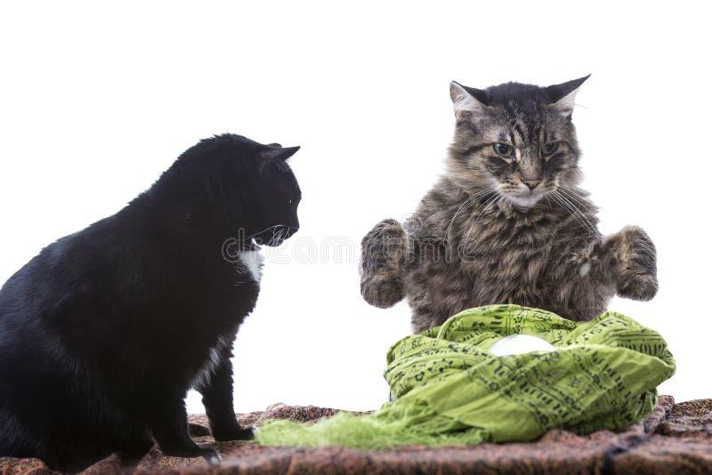 Psychiczny kot pomyślności narrator obraz royalty free