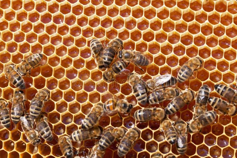 Pszczół honeycombs z miodem zdjęcia royalty free