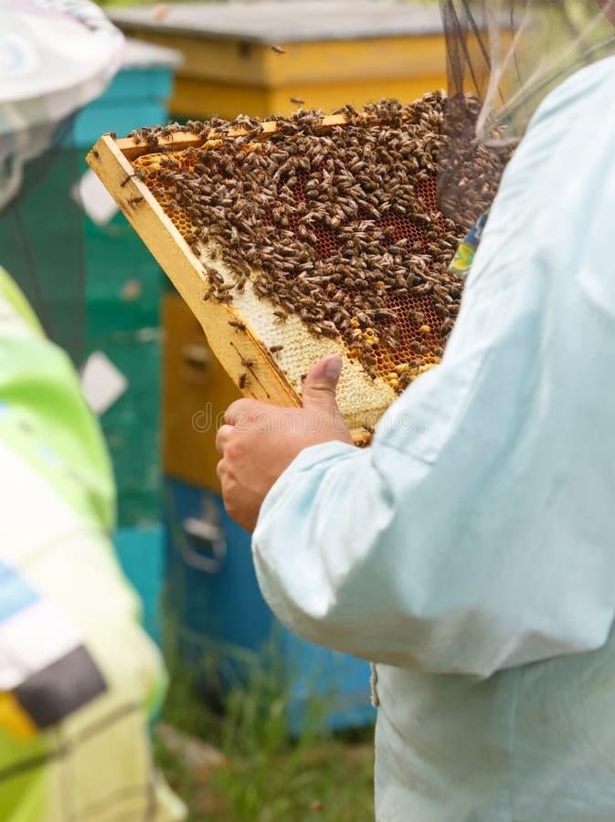 Pszczelarek utrzymania wewnątrz wręczają ramę z honeycombs i pszczołami obrazy royalty free