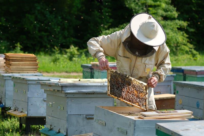 Pszczelarka sprawdza honeycomb ramę przy pasieką przy letnim dniem Mężczyzna pracuje w pasiece Apiculture Beekeeping poj?cie fotografia stock