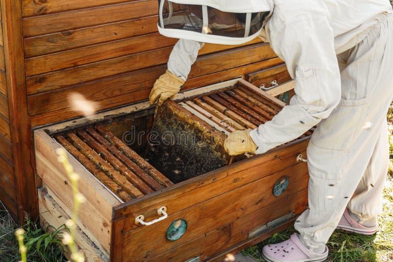 Pszczelarka wyciąga od roju drewnianą ramę z honeycomb Zbiera miód Beekeeping pojęcie zdjęcie stock