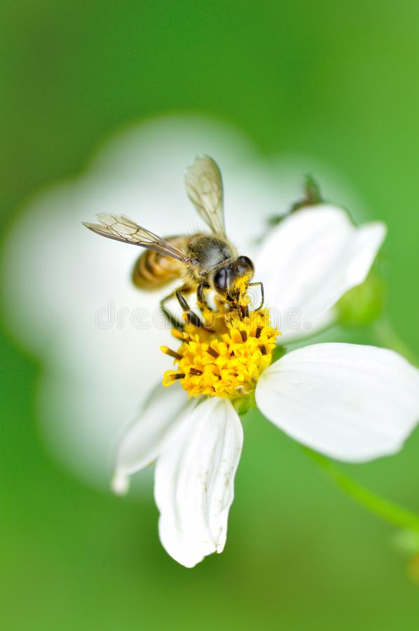 Pszczoła i kwiat fotografia royalty free