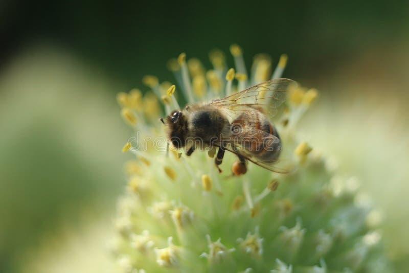 Pszczoła na cebulkowej kwiatu zbliżenia fotografii fotografia stock