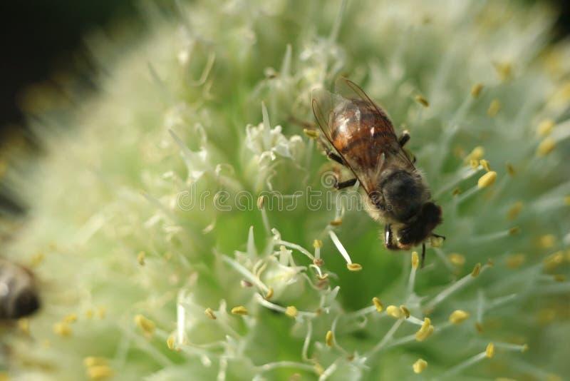 Pszczoła na cebulkowej kwiatu zbliżenia fotografii zdjęcia stock
