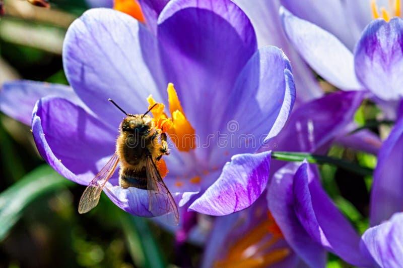 Pszczoła na purpura kwiacie obraz royalty free