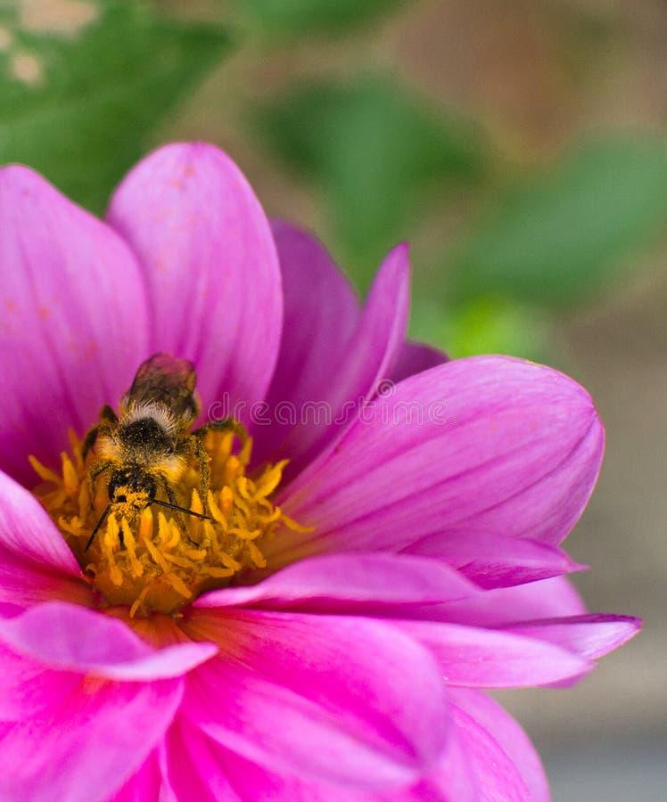 Pszczoła, zakrywająca w pollen, zbieracki nektar od kwiat purpur dalii obrazy stock
