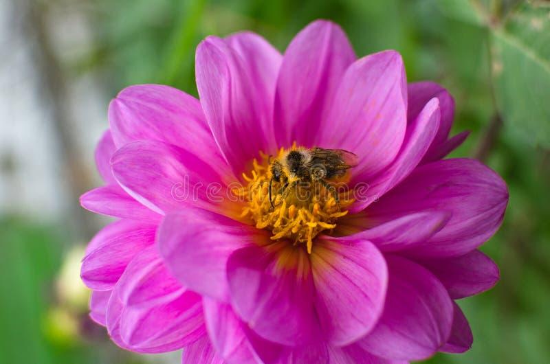Pszczoła, zakrywająca w pollen, zbieracki nektar od kwiat purpur dalii obraz royalty free