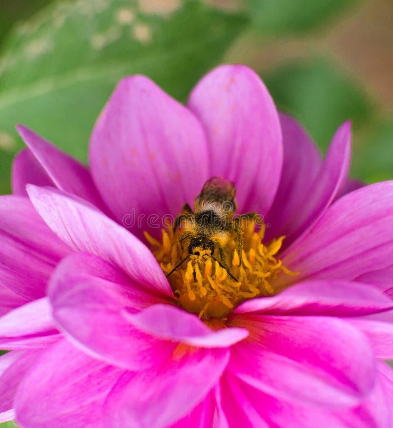 Pszczoła, zakrywająca w pollen, zbieracki nektar od kwiat purpur dalii fotografia royalty free