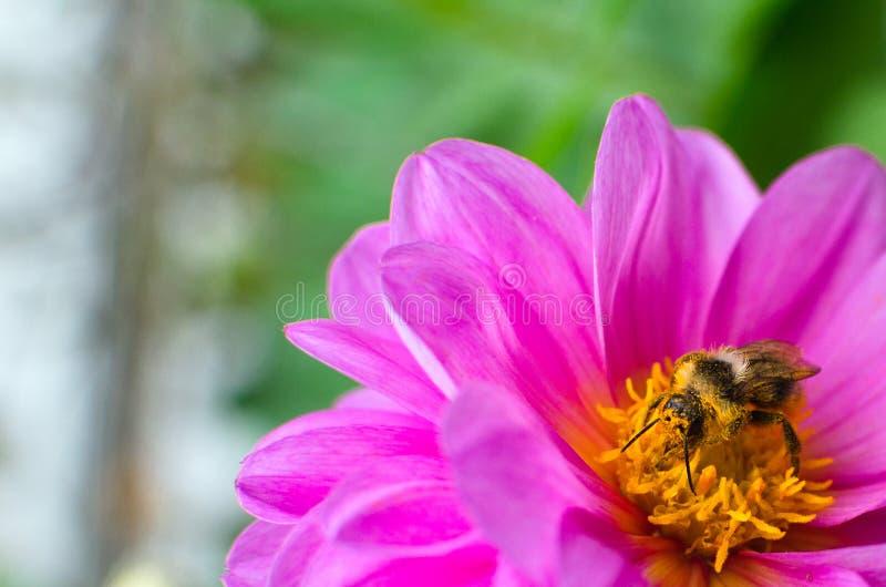Pszczoła, zakrywająca w pollen, zbieracki nektar od kwiat purpur dalii obraz stock