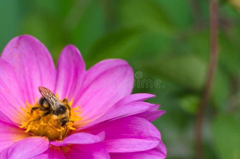 Pszczoła, zakrywająca w pollen, zbieracki nektar od kwiat purpur dalii zdjęcia royalty free
