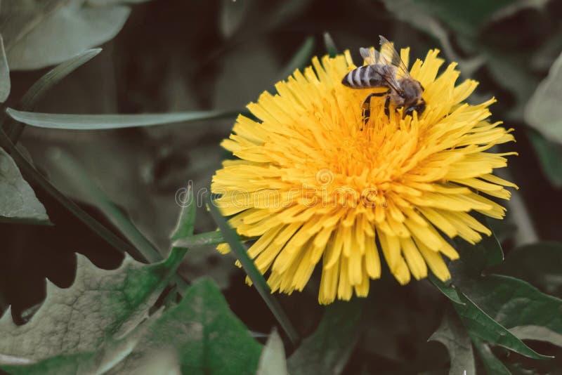 Pszczoła zbiera nektar na dandelion, żółty dandelion, kwiat, zielona trawa, żółty pollen obrazy royalty free