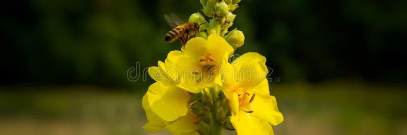 Pszczoła zbiera nektar od dziewanna kwiatów w łące obraz royalty free