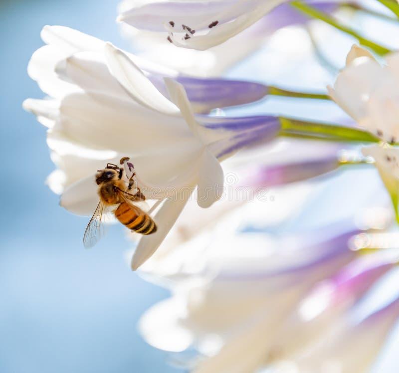 Pszczoła zbieracki nektar od agapantu kwiatu obrazy stock