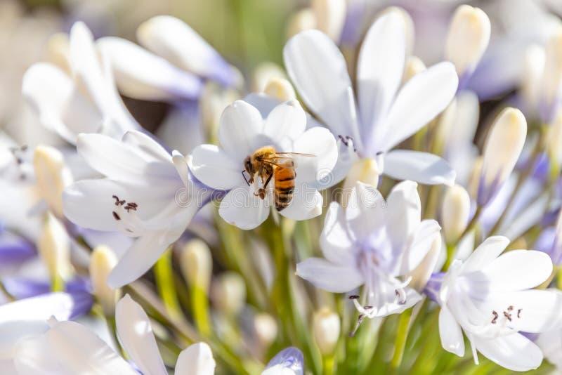 Pszczoła zbieracki nektar od agapantu kwiatu obraz stock