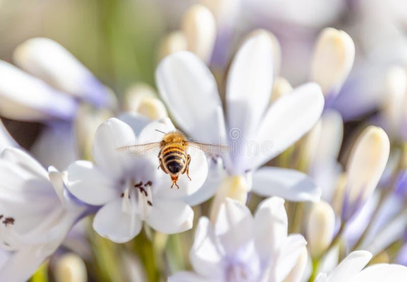 Pszczoła zbieracki nektar od agapantu kwiatu fotografia royalty free