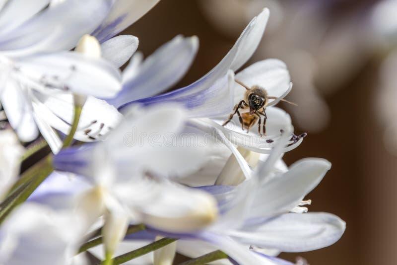 Pszczoła zbieracki nektar od agapantu kwiatu zdjęcia stock
