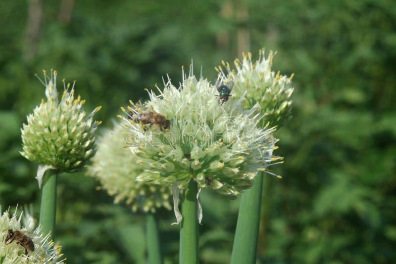 Pszczoły i komarnica na cebulkowym kwiacie zdjęcie stock