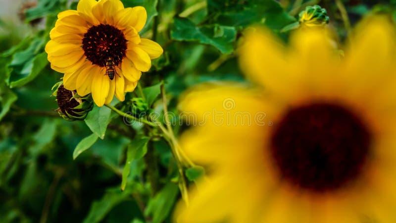 Pszczoła żywieniowy czas fotografia stock