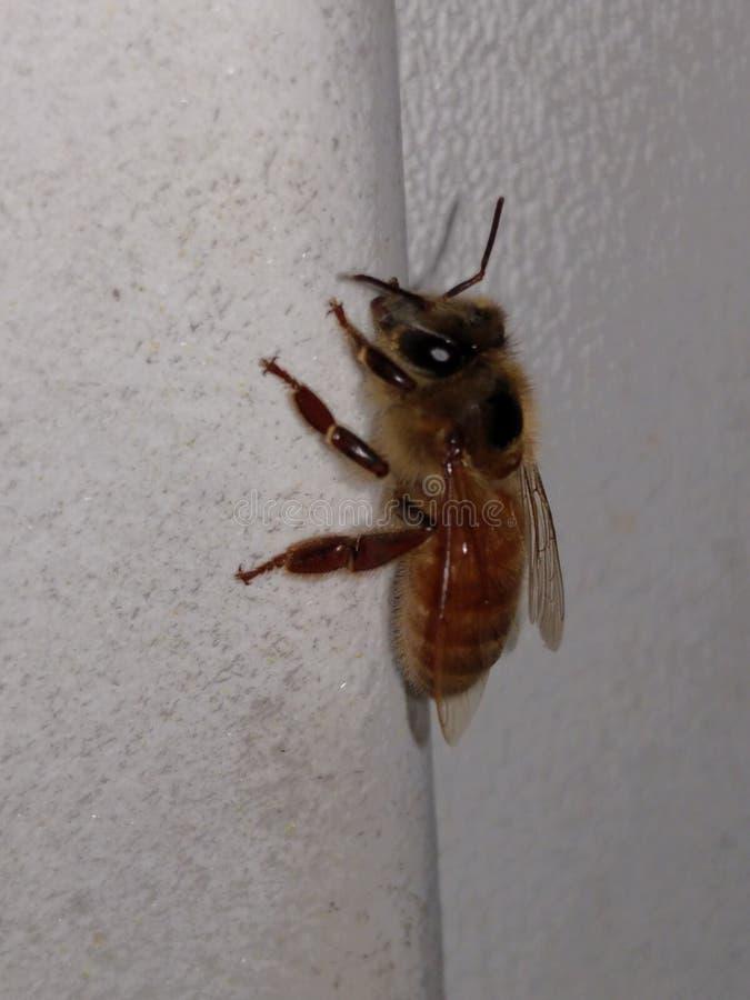 Pszczoła obrazy royalty free